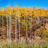 Army of Aspens in Iowa