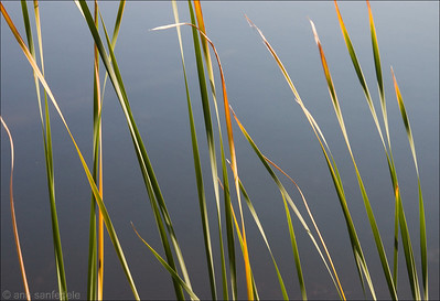 Bullrushes at Sand Pond - Near the shore of Lake Michigan in Illinois