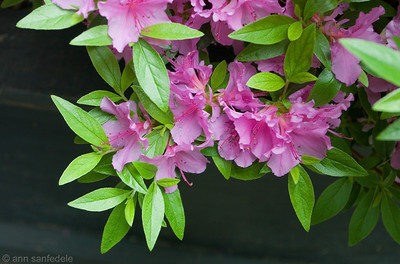 Azaleas in Greenwich Village