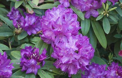 audreysrhodies