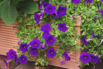 Petunias Flower box on 7th St