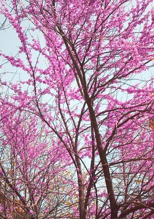 Redbud trees near the Brooklyn Bridge