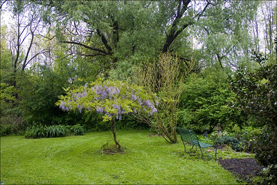 Wisteria - at my friend's home in Ohio - May 12th