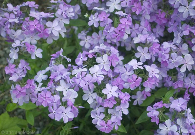 Purple Phlox on the Hi-line