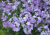 Purple Phlox on the Hi-line