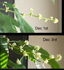 dracaena fragrans December 1st then December 3rd - The top photo was taken hand held at 1/13 - sorries... a bit too soft.<br /> hit NEXT to see a close-up of the blooms today