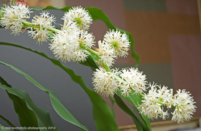 Flowering Corn Plant  <i>dracaena fragrans</I>