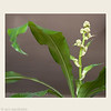 <i>Dracaena fragrans</i> or Flowering Corn Plant. This is the second time ever that it has flowered. the first time was last year and it wasnt noticed until the flowers were fragrant and much larger.  That was on Dec 10th, 2012 I'm hoping it will reach that stage again this year.  (double watermark as smugmug automatically puts my undated one  on when I load a photo.)