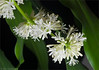 Close-up Dracaena blossoms on 12/06/13