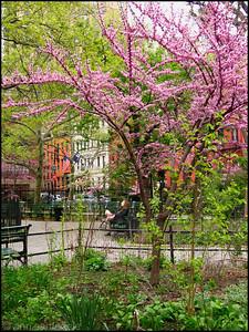 Redbud tree, Stuyvesant Park