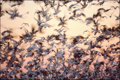 Snow Geese - Bombay Hook