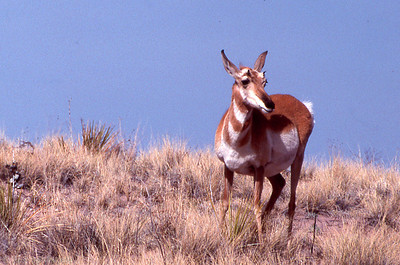 Pronghorn... Eastern Arizona May, 1990 (TIATRIP roll 10 frame 15)