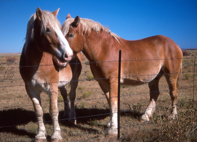 Palomino draftt horses Eager, Arizona - 1985.  Scanned from a Kodachrome (PKR) 35 mm slide.  Roll 48, frame 28 October 1985