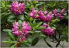 Rhododendron bush near picnic area at GFM -One of three photos that were entered in the GFM contest and didn't make the cut.