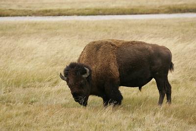 20130929_Yellowstone Buffalo_0030