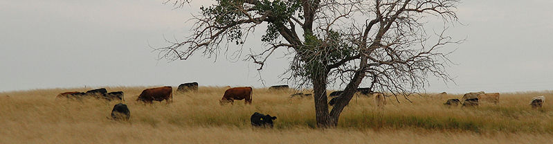 Grazing Cows Panorama