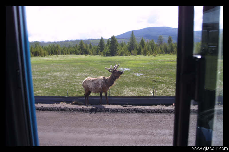An elk in Yellowstone National Park. Taken from the driver's seat.