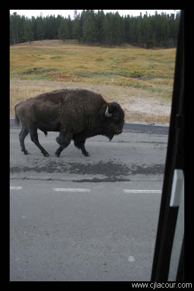 Where does a bison walk? Anywhere he wants to. Yellowstone National Park.