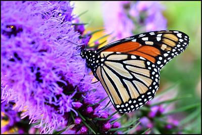 Butterfly, Fryeburg, ME