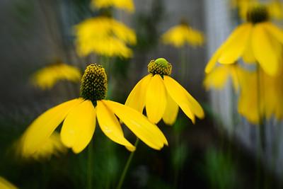 Flowers---Fryeburg, Maine