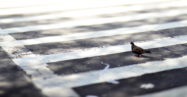 Even Pigeons Use the Crosswalk