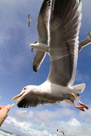 Seagulls in Flight_070