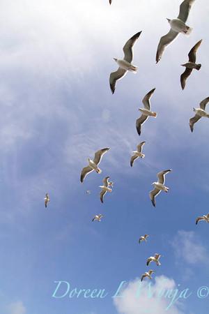Seagulls in Flight_075