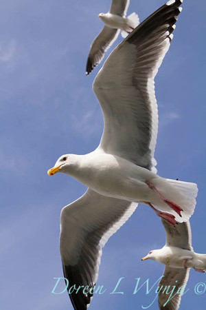 Seagulls in Flight_090