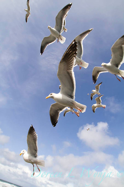 Seagulls in Flight_071