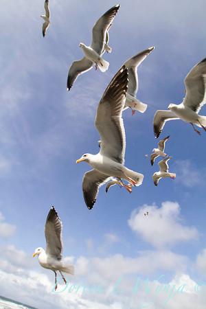 Seagulls in Flight_071