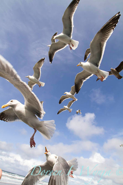 Seagulls in Flight_069
