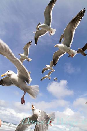 Seagulls in Flight_069