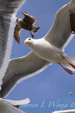 Seagulls in Flight_087