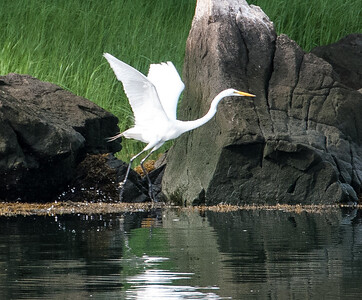 Great Egret Taking Flight
