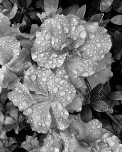 Wet Azaleas