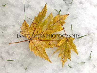 Leaves on snow