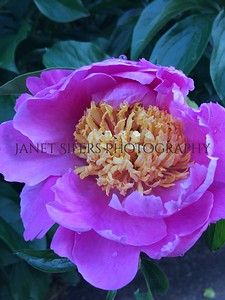 Pink and yellow peony
