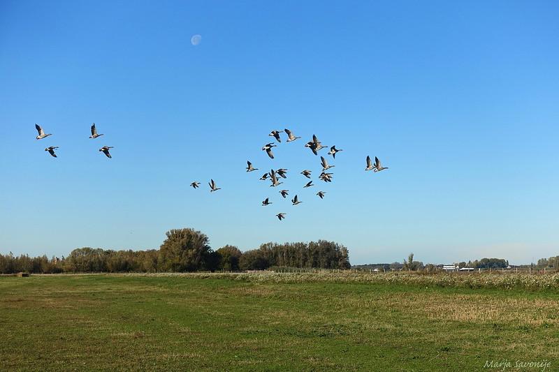 Opvliegende ganzen in het Munnikenland