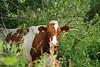 Koe in het Munnikenland