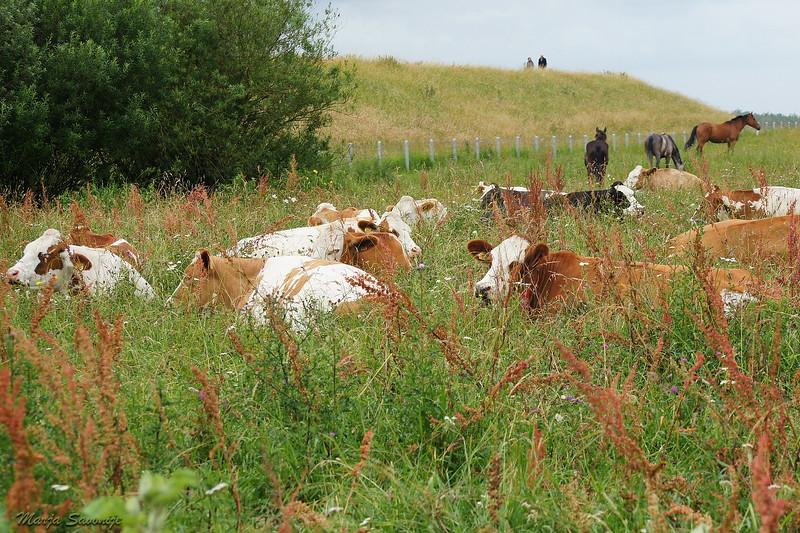 Koeien uitrusten