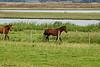 Paarden in het Mland