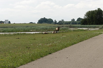 Konik paarden langs de weg