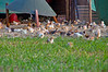 Eduard Pasture Reared Chickens