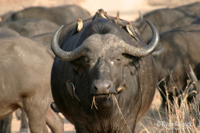 Cape buffalo with oxpeckers covering its body