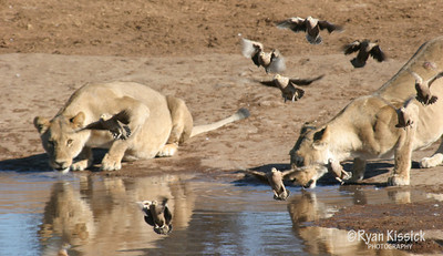 Two lions drink as doves fly past