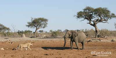 An African elephant faces off with a lion