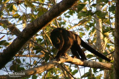 A male howler monkey climbing a tree in forest