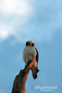 Bird of prey perched upon a branch in the early morning
