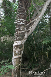 A strangler fig wrapped around its host tree