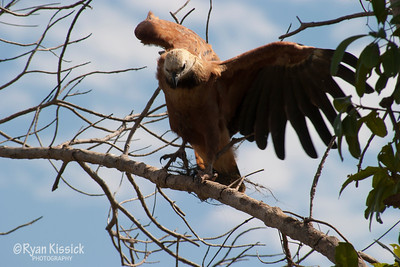 An eagle of the Pantanal